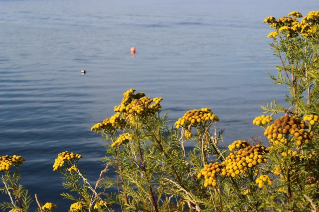 yellow flowers_water